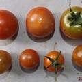 Photos: 2020/07/20(月)・畑のミニトマト・7個収穫