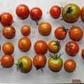 Photos: 2020/07/24(金・祝)・畑のミニトマト・27個収穫