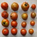Photos: 2020/07/27(月)・畑のミニトマト・16個収穫