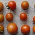 Photos: 2020/07/28(火)・畑のミニトマト・12個収穫