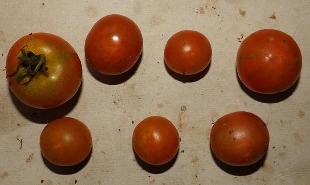 2020/07/29(水)・畑のミニトマト・7個収穫
