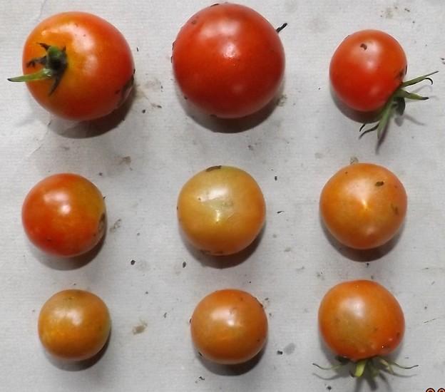 2020/07/30(木)・畑のミニトマト・9個収穫