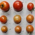 Photos: 2020/07/30(木)・畑のミニトマト・9個収穫