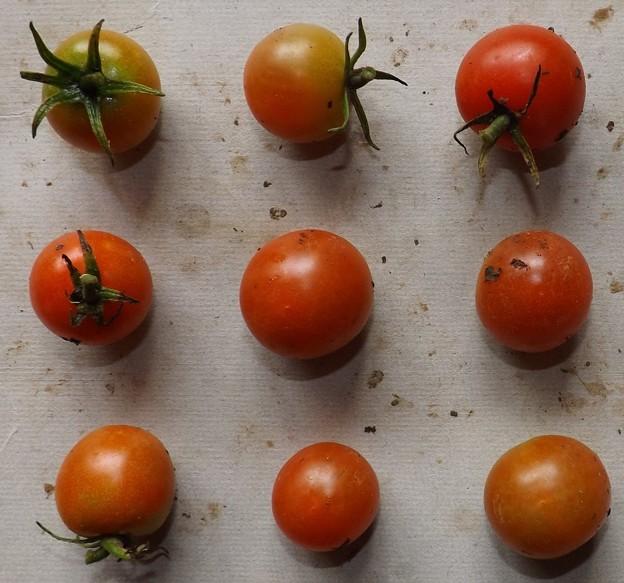 Photos: 2020/07/31(金)・畑のミニトマト・9個収穫