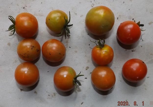2020/08/01(土)・畑のミニトマト・11個収穫