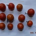 2020/08/02(日)・畑のミニトマト・11個収穫