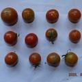 Photos: 2020/08/03(月)・畑のミニトマト・12個収穫