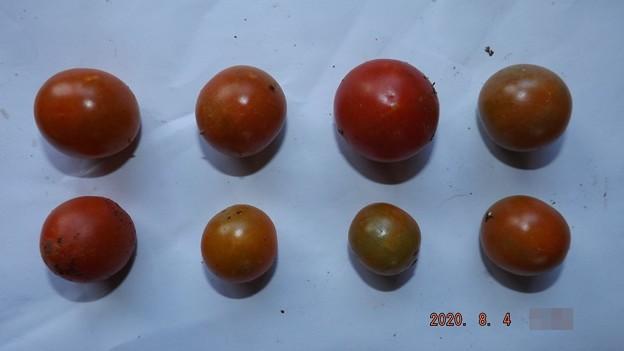 2020/08/04(火)・畑のミニトマト・8個収穫