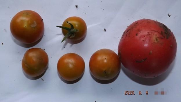 2020/08/05(水)・畑のミニトマト・6個収穫