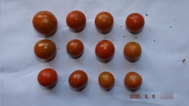 2020/08/06(木)・畑のミニトマト・12個収穫