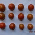 Photos: 2020/08/06(木)・畑のミニトマト・12個収穫