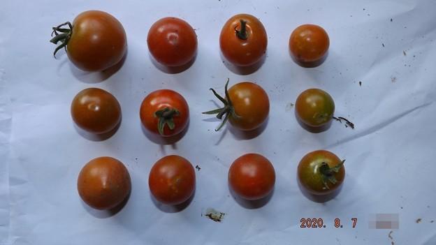 2020/08/07(金)・畑のミニトマト・12個収穫