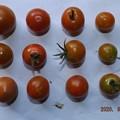 Photos: 2020/08/07(金)・畑のミニトマト・12個収穫
