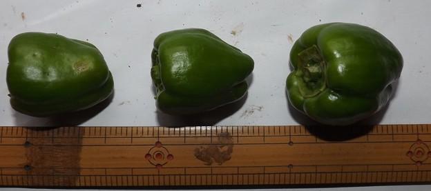 2020/08/08(土)・畑のピーマン・3個収穫