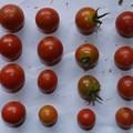 2020/08/08(土)・畑のミニトマト・16個収穫