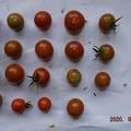 2020/08/09(日)・畑のミニトマト・19個収穫