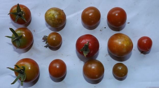 220/08/10(月・祝)・畑のミニトマト・13個収穫