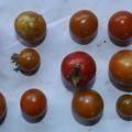 Photos: 220/08/10(月・祝)・畑のミニトマト・13個収穫
