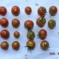 2020/08/11(火)・畑のミニトマト・22個収穫
