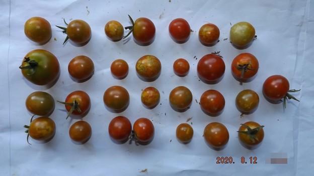 2020/08/12(水)・畑のミニトマト・29個収穫
