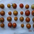 Photos: 2020/08/12(水)・畑のミニトマト・29個収穫