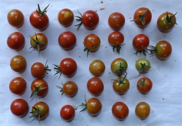 2020/08/13(木)・畑のミニトマト・32個収穫