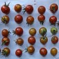 Photos: 2020/08/13(木)・畑のミニトマト・32個収穫