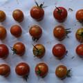 Photos: 2020/08/14(金)・畑のミニトマト・19個収穫