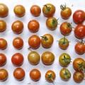 Photos: 2020/08/15(土)・畑のミニトマト・49個収穫