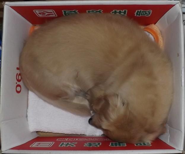 2020/08/16(日)・自分で箱にinして眠っているコロンだよ。(#^^#)