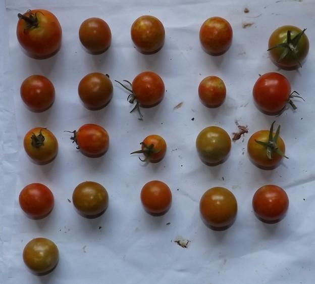 2020/08/19(水)・畑のミニトマト・21個収穫