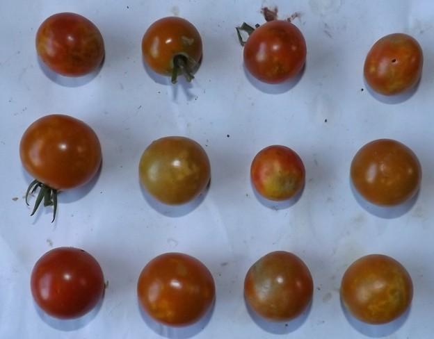 2020/08/20(木)・畑のミニトマト・12個収穫
