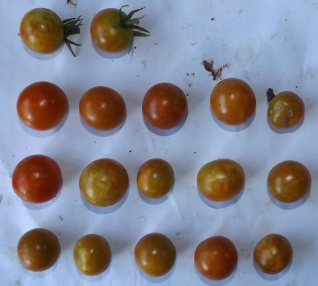 2020/08/21(金)・畑のミニトマト・17個収穫