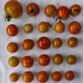 2020/08/22(土)・畑のミニトマト・25個収穫