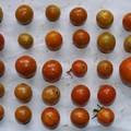 2020/08/23(日)・畑のミニトマト・28個収穫
