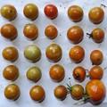 2020/08/24(月)・畑のミニトマト・25個収穫