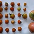 2020/08/25(火)・畑のミニトマト・23個/トマト・2個収穫