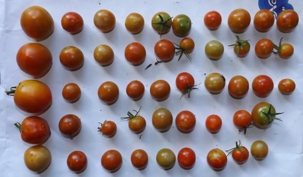 2020/08/26(水)・畑のミニトマト・48個収穫