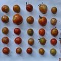 2020/08/27(木)・畑のミニトマト・36個収穫
