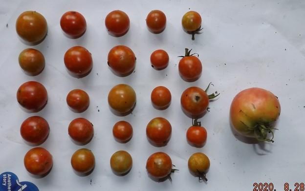 2020/08/28(金)・畑のミニトマト・25個/トマト1個収穫