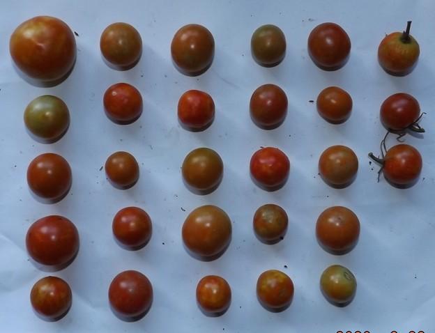 2020/08/29(土)・畑のミニトマト・28個収穫