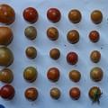 2020/08/30(日)・畑のミニトマト・26個収穫