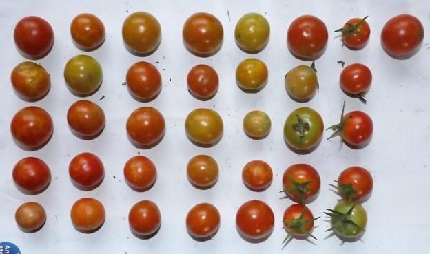 2020/08/31(月)・畑のミニトマト・36個収穫