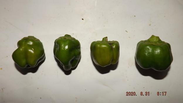 2020/08/31(月)・畑のピーマン・4個収穫