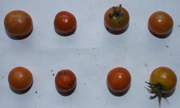 2020/09/01(火)・畑のミニトマト・8個収穫