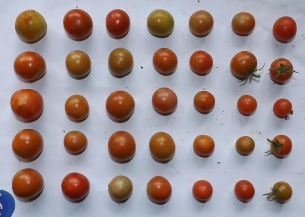 2020/09/02(水)・畑のミニトマト・35個収穫