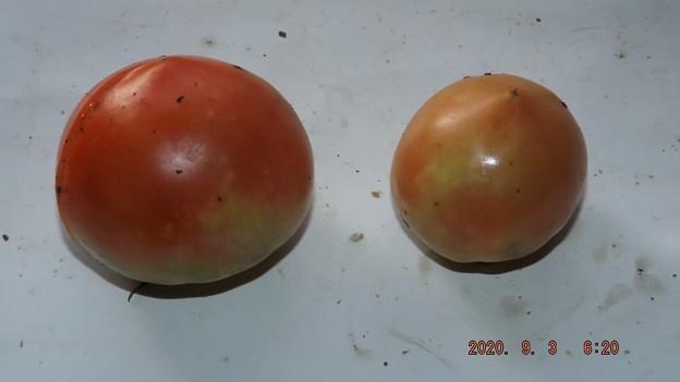 2020/09/03(木)・畑のトマト・2個収穫