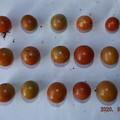 2020/09/03(木)・畑のミニトマト・15個収穫