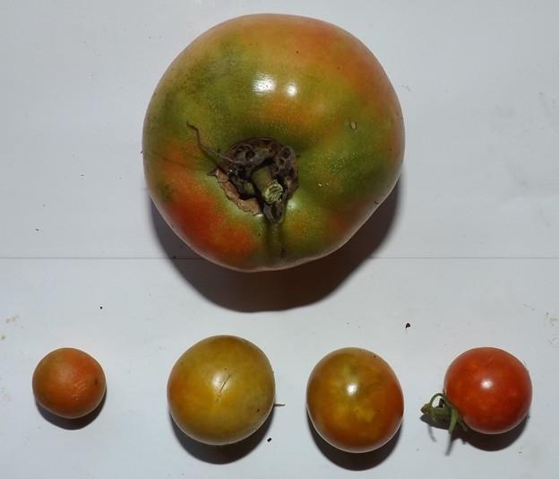 2020/09/04(金)・畑のトマト1個収穫・ミニトマト・4個収穫