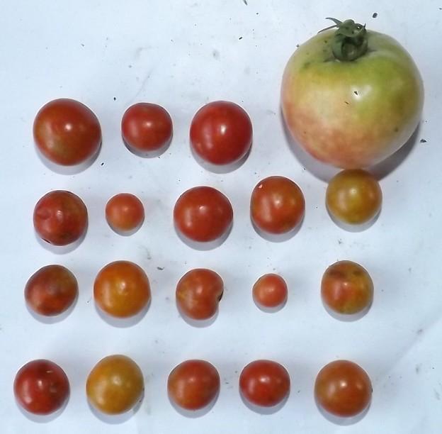 2020/09/05(土)・畑のトマト・1個/ミニトマト・18個収穫